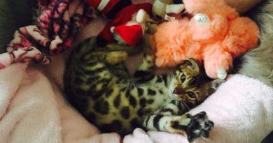 ¿por qué castrar al gato bengalí?