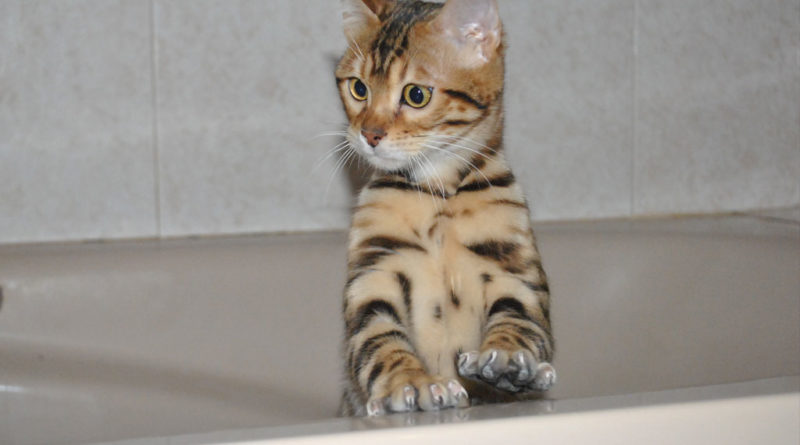 gato bengali bañera