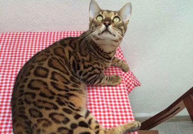 del gato bengalí de ayer al de hoy