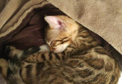 el resfriado en el gato bengalí