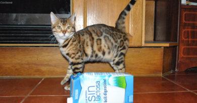 leche gato bengali